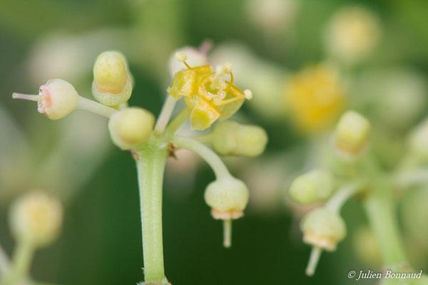 Coccoloba uvifera (Dégrad des cannes, Remire-Montjoly, le 19/08/2014)