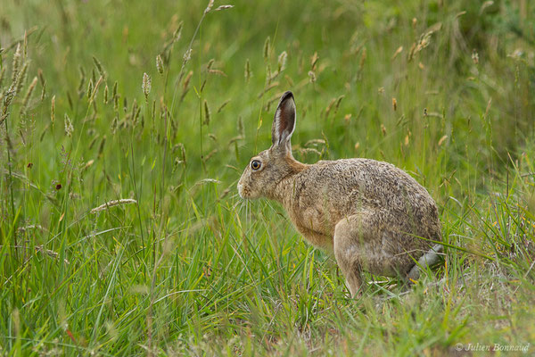 Lièvre d'Europe (Lepus europaeus) (Monségur (40), France, le 23/05/2019)