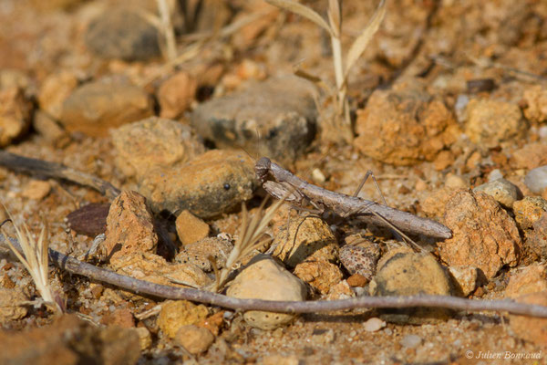 Mante terrestre (Geomantis larvoides) (Vila do Bispo, (Algarve), Portugal, le 31/08/2018)