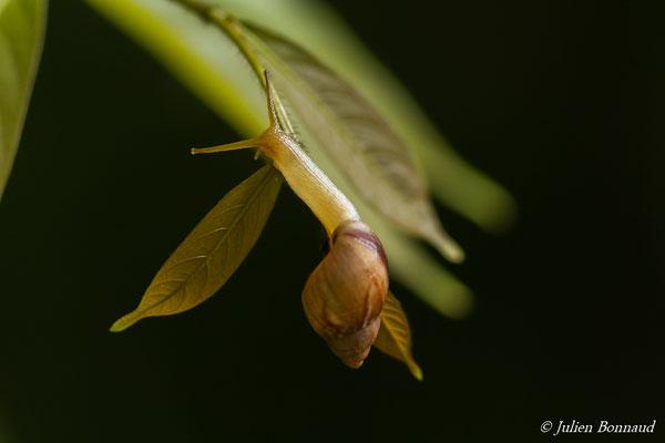 (Plekocheilus aurissciuri) (ADNG, le 16/06/2016)
