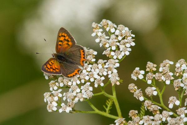 Cuivré commun (Lycaena phlaeas) (Braud-et-Saint-Louis (33), France, le 04/07/2018)
