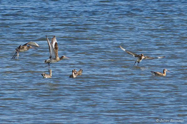 Barge à queue noire – Limosa limosa (Linnaeus, 1758), (réserve ornithologique du Teich (33), France, le 24/01/2018)