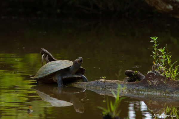 Podocnémide de Cayenne (Podocnemis unifilis) (Zoo de Guyane, Montsinéry, le 22/04/2017)