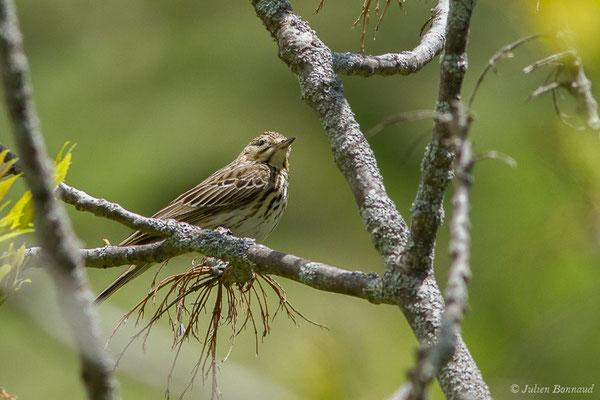 Pipit des arbres (Anthus trivialis) (Sers (65), France, le 07/06/2019)