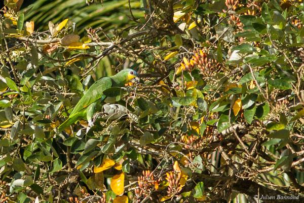 Amazone aourou (Amazona amazonica) (Embouchure de l'Approuague, Régina, le 11/09/2017)