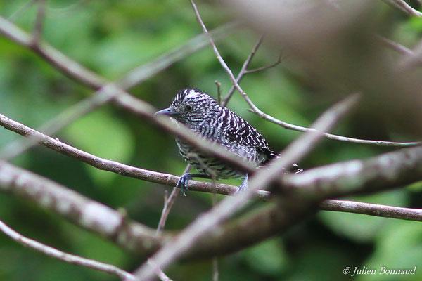 Batara rayé (Thamnophilus doliatus) (mâle, adulte)