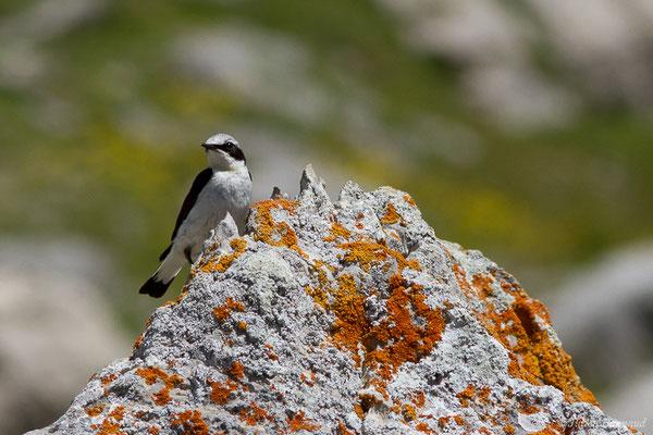 Traquet motteux (Oenanthe oenanthe) (mâle adulte) (Col du Pourtalet, Laruns (64), France, le 06/07/2019)