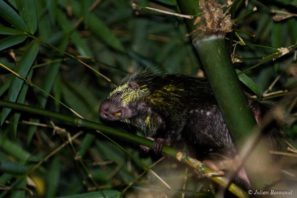 Coendou nain poilu (Coendou melanurus) (adulte) (sentier du Rorota, Remire-Montjoly, le 14/07/2017)