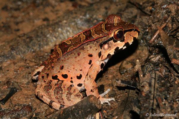 Leptodactyle de Knudsen (Leptodactylus cf. knudseni) (Montagne des singes, Kourou, le 27/06/2015)