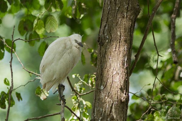 Héron garde-bœufs – Bubulcus ibis (Linnaeus, 1758), (saligue de Biron (64), France, le 06/06/2021)