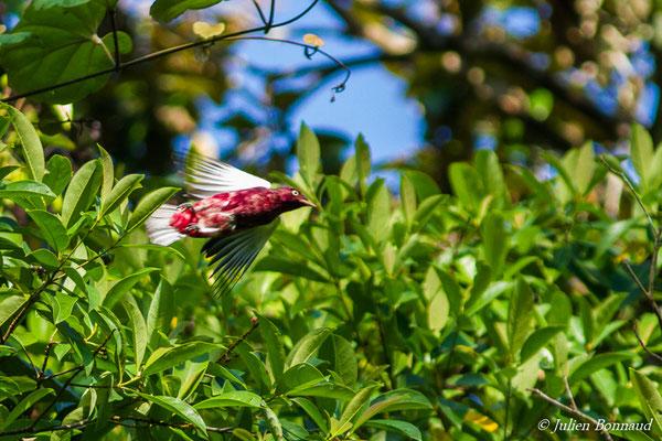 Cotinga pompadour (Xipholena punicea) (mâle adulte) (Yaou, Maripassoula, le 28/09/2016)