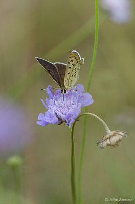 Cuivré fuligineux (Lycaena tityrus) (mâle) (Périgueux (24), France, le 08/08/2018)