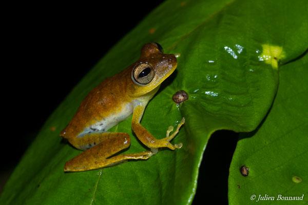 Rainette subfasciée (Hypsiboas sp.2 aff. Fasciatus) (ADNG, Mana, le 17/06/2016)