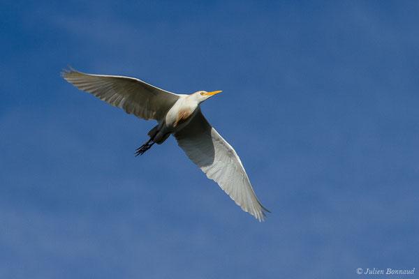 Héron garde-boeufs (Bubulcus ibis) (adulte) (Saligue d'Artix (64), le 15/08/2019)