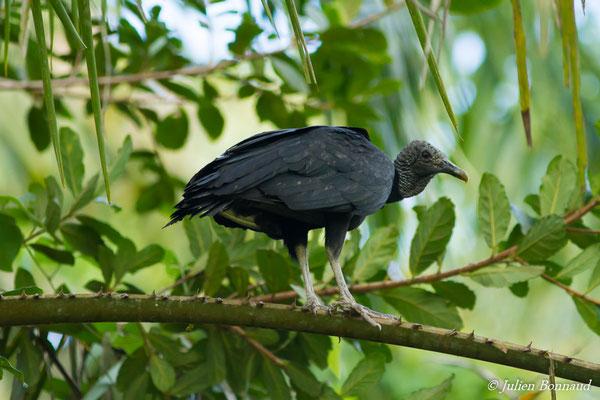 Urubu noir (Coragyps atratus) (Iracoubo, le 12/07/2016)