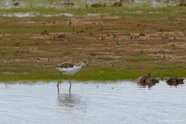 Échasse blanche – Himantopus himantopus (Linnaeus, 1758), (juvénile) (réserve ornithologique Terre d'oiseaux, Braud-et-Saint-Louis (33), France, le 20/06/2018)