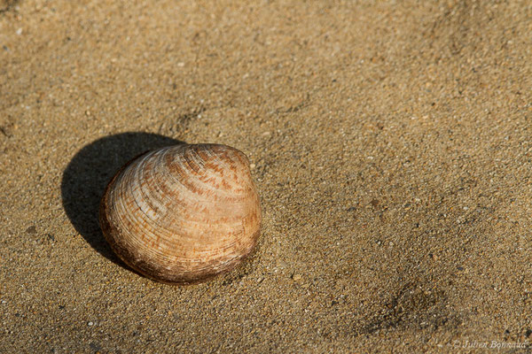 Amande de mer (Glycymeris glycymeris) (achat en poissonnerie)
