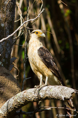 Caracara à tête jaune (Milvago chimachima) (adulte) (Iracoubo, le 19/08/2016)