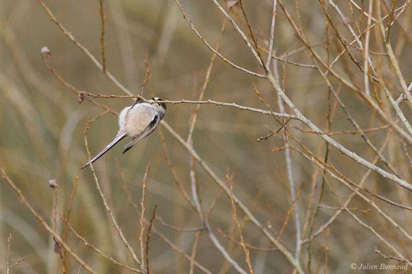 Mésange à longue queue (Aegithalos caudatus) (réserve des barthes de Saint-Martin-de-Seignanx (64), France, le 19/01/2019)
