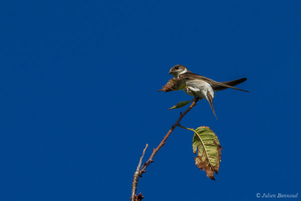 Hirondelle de fenêtre (Delichon urbicum) (Parbayse (64), France, le 15/09/2017)