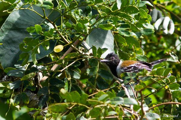 Batara huppé (Sakesphorus canadensis) (mâle, adulte) (Mana, le 19/08/2016)