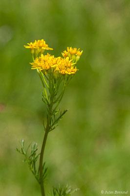 Séneçon à feuille d'adonis (Jacobaea adonidifolia) (lac d'Ayous, Laruns (64), France, le 13/07/2019)