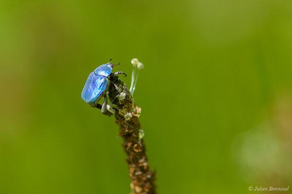 Hoplie bleue (Hoplia coerulea) (Arbus (64), France, le 26/06/2019)
