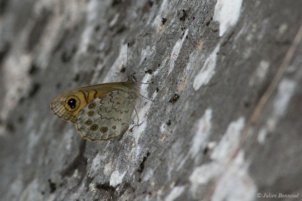 Mégère ou Satyre (Lasiommata megera) (Le Bastan de Sers, Sers (65), France, le 29/06/2018)