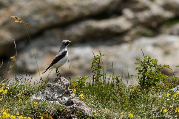 Traquet motteux (Oenanthe oenanthe) (mâle adulte) (Col du Pourtalet, Laruns (64), France, le 22/06/2019)