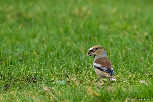Grosbec casse-noyaux (Coccothraustes coccothraustes) (mâle adulte en plumage d'hiver) (La Roche-sur-Yon (85), France, le 25/01/2018)