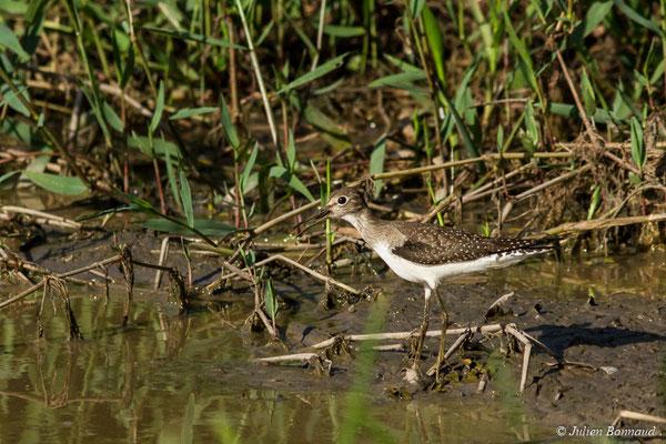 Chevalier solitaire (Tringa solitaria) (adulte, plumage internuptial) (La Césaré, macouria, le 03/09/2017)