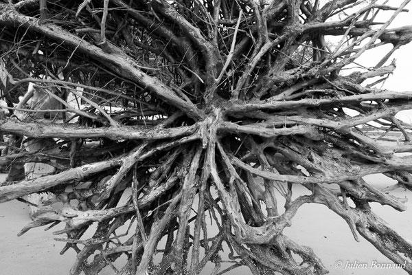 Racines de Palétuvier blanc (Avicennia germinans) (Guatémala, le 28/12/2016)