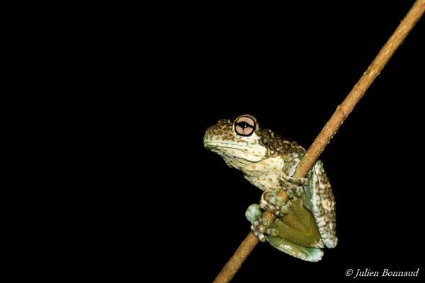 Trachycéphale métronome (Trachycephalus hadroceps) (Montagne des singes, Kourou, le 27/06/2015)
