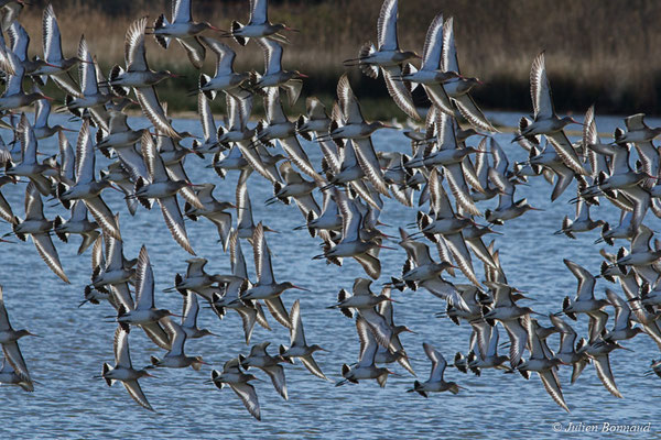 Barge à queue noire (Limosa limosa) (réserve ornithologique du Teich (33), France, le 24/01/2018)