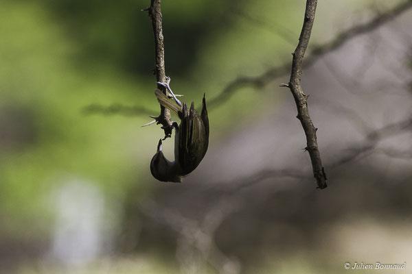 Viréo à moustache (Vireo altiloquus) (Bois jolan, Saint-Anne, le 19/05/2016)