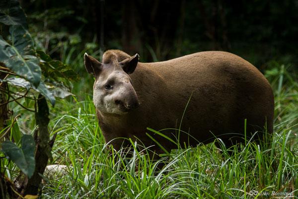 Tapir du Brésil (Tapirus terrestris) (Zoo de Guyane, Montsinéry, le 09/07/2017)