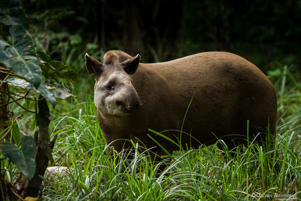 Tapir (Tapirus terrestris) (Zoo de Guyane, Montsinéry, le 09/07/2017)
