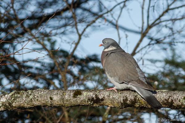 Pigeon ramier (Columba palumbus) (Pau (64), France, le 29/12/2019)