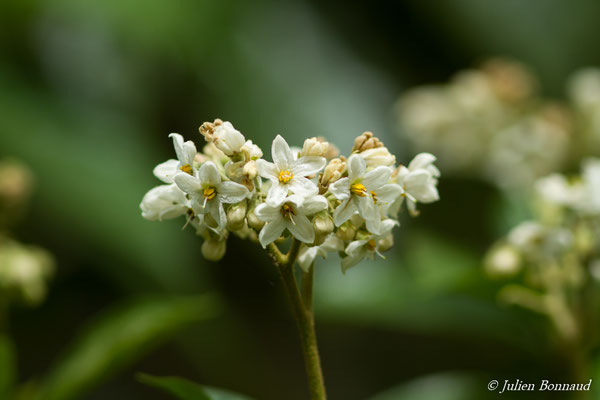 Solanum rugosum (Kourou, le 14/03/2017)
