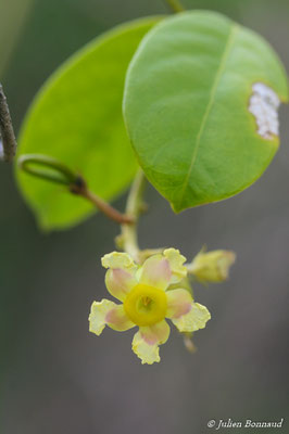 Prestonia cayennensis (Centre Spatial Guyanais, Kourou, le 12/05/2014)