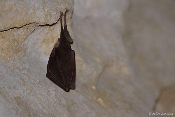 Petit rhinolophe – Rhinolophus hipposideros (Borkhausen, 1797), (Grotte du tunnel de l'Escalère, Camous (65), France, le 04/03/2021)