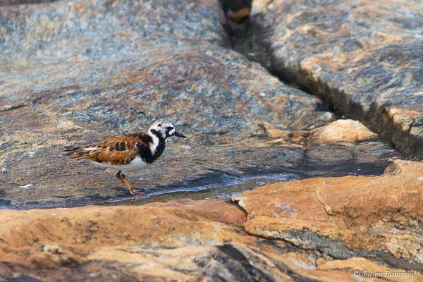 Tournepierre à collier (Arenaria interpres) (adulte plumage nuptial) (Cayenne, le 22/03/2017)