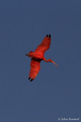 Ibis rouge (Eudocimus ruber) (adulte) (Pont du Larivot, Matoury, le 09/01/2015)