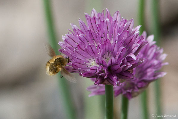 Bombyle (Bombylius sp.) (lac d'Ayous, Laruns (64), France, le 13/07/2019)