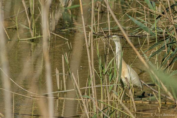 Crabier chevelu – Ardeola ralloides (Scopoli, 1769), (Parc national de Doñana, El Rocio (Andalousie), Espagne, le 04/08/2020)