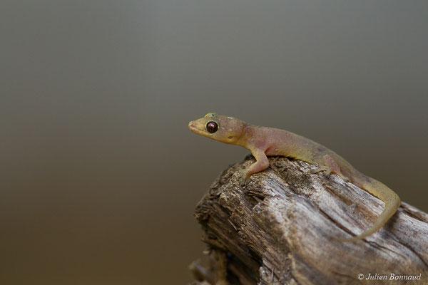 Gecko mutilé (Gehyra mutilata) (adulte) (Remire-montjoly, le 23/03/2017)