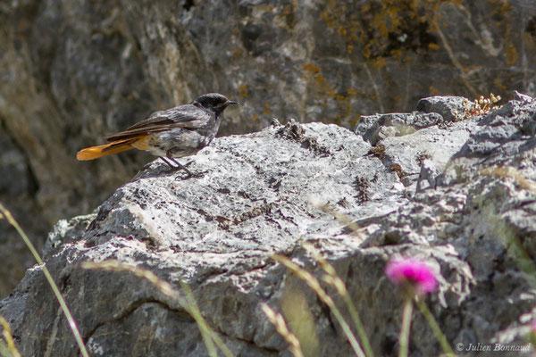 Rougequeue noir (Phoenicurus ochruros) (mâle adulte) (Pic du Midi d'Ossau, Laruns (64), France, le 04/08/2018)