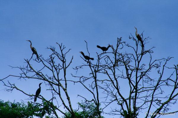 Anhinga d'Amérique (Anhinga anhinga) (Kaw le 14/08/2012)