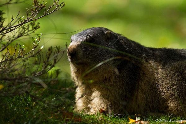 Marmotte des Alpes, Marmotte – Marmotta marmotta (Linnaeus, 1758),  (Parc animalier des pyrénées, Argelès-Gazost (65), France, le 03/10/2017)