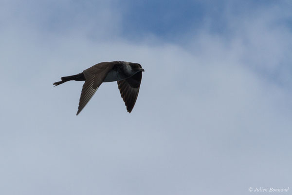 Labbe pomarin (Stercorarius pomarinus) (Sagres (Vila do Bispo), Algarve (Portugal), le 31/08/2018)